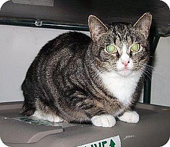 Domestic Shorthair Cat for adoption in Centreville, Virginia - Sadie