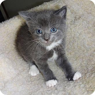 Domestic Shorthair Kitten for adoption in N. Billerica, Massachusetts - Alana