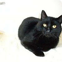 American Shorthair Cat for adoption in Chicago, Illinois - Paddy McGee