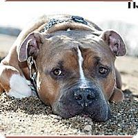 Adopt A Pet :: Drake - New Canaan, CT