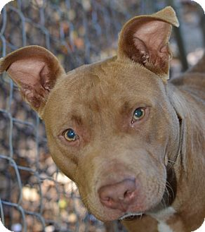 Pit Bull Terrier Mix Dog for adoption in Henderson, North Carolina - Belle