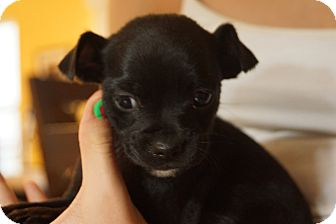 Shih Tzu/Chihuahua Mix Puppy for adoption in Newark, Delaware - Apple