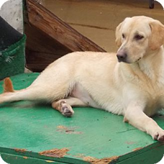 Labrador Retriever Mix Dog for adoption in Hatifeld, Pennsylvania - Bee