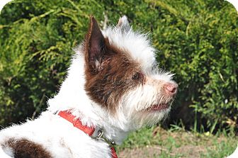 Terrier (Unknown Type, Small) Mix Dog for adoption in Tumwater, Washington - Bentley