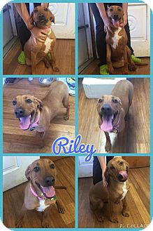 Coonhound Mix Dog for adoption in Poughkeepsie, New York - Riley
