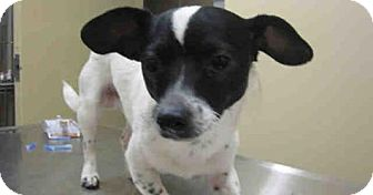 Parson Russell Terrier Mix Dog for adoption in Newnan City, Georgia - Marley