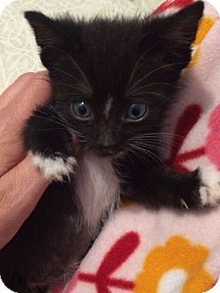 Domestic Shorthair Kitten for adoption in Dumfries, Virginia - Luke