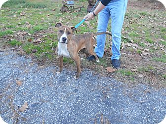 Pit Bull Terrier Mix Dog for adoption in Parkton, North Carolina - Finnegan