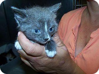American Shorthair Kitten for adoption in Libertyville, Illinois - kitten 1