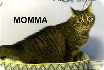 Domestic Shorthair Cat for adoption in Medway, Massachusetts - Momma