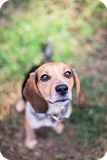 Beagle Mix Dog for adoption in Richmond, Virginia - Ripley