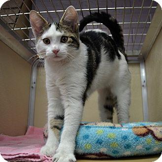 Domestic Shorthair Kitten for adoption in Wheaton, Illinois - Waldo
