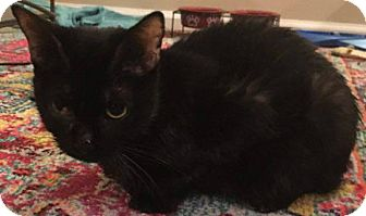Domestic Shorthair Cat for adoption in Columbia, Maryland - Beads