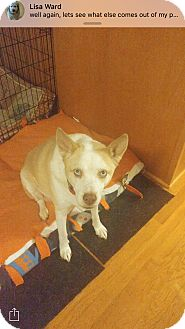 Australian Cattle Dog/Husky Mix Dog for adoption in Atlantic, North Carolina - Stella