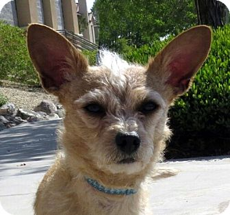 Chihuahua Mix Dog for adoption in Las Vegas, Nevada - Buddha