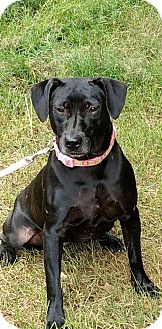 Labrador Retriever/Pit Bull Terrier Mix Dog for adoption in Charlotte, North Carolina - Gozer (Ghosterbusters)