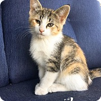 Domestic Shorthair Cat for adoption in Northville, Michigan - P17 Rue