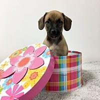 Adopt A Pet :: Carnelian - Joliet, IL
