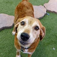 Adopt A Pet :: Goldie #2 - Towson, MD
