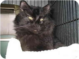 Domestic Mediumhair Cat for adoption in Mission, British Columbia - Tony