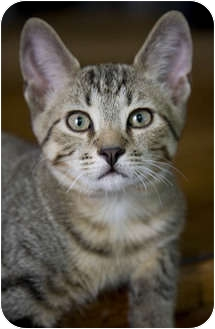 Domestic Shorthair Kitten for adoption in Chicago, Illinois - Puck