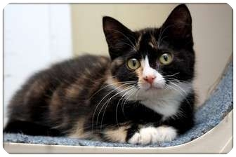 Domestic Shorthair Kitten for adoption in Sterling Heights, Michigan - Caela - ADOPTED!