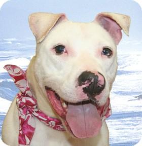 American Bulldog Mix Dog for adoption in Cincinnati, Ohio - Abbott