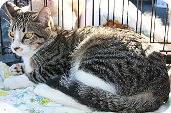 Domestic Shorthair Cat for adoption in Phoenix, Arizona - Boots