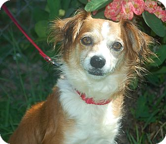 Papillon/Chihuahua Mix Dog for adoption in Bradenton, Florida - Emmy
