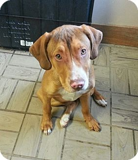 Hound (Unknown Type)/Pit Bull Terrier Mix Puppy for adoption in Lisbon, Ohio - Sahara