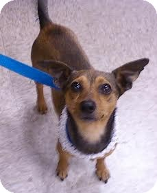 Chihuahua/Chihuahua Mix Dog for adoption in Sugar Land, Texas - Monkey