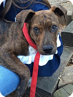 Plott Hound/Labrador Retriever Mix Puppy for adoption in Atlanta, Georgia - Blaze