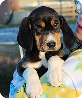 Hound (Unknown Type) Mix Puppy for adoption in Harmony, Glocester, Rhode Island - Alice