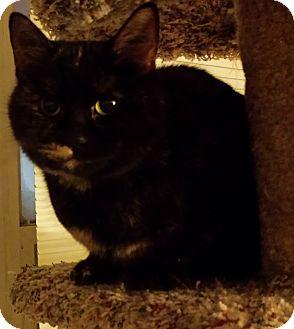 Calico Cat for adoption in brewerton, New York - Dalilah