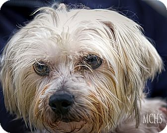 Maltese Mix Dog for adoption in Martinsville, Indiana - Henny