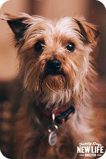 Yorkie, Yorkshire Terrier Dog for adoption in Portland, Oregon - Izzy