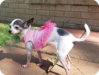 Chihuahua Dog for adoption in Yukon, Oklahoma - Dosey Doh