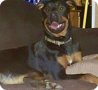 Rottweiler Puppy for adoption in Oswego, Illinois - I'M ADOPTED Rocco Sobieski