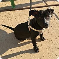 Adopt A Pet :: Sweet Potato - Temecula, CA