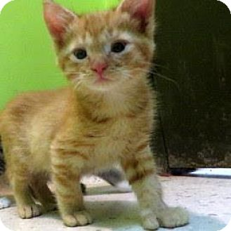 Domestic Shorthair Kitten for adoption in Janesville, Wisconsin - Charlie
