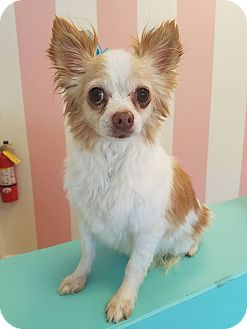 Chihuahua Mix Dog for adoption in CUMMING, Georgia - Lil Bit