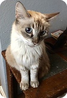 Balinese Cat for adoption in Houston, Texas - Allie