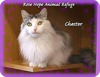 Domestic Longhair Cat for adoption in Waterbury, Connecticut - Chester