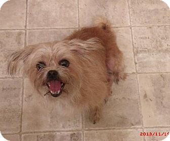 Pekingese/Chihuahua Mix Dog for adoption in PRINCETON, Kentucky - MOLLY