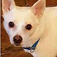 Adopt A Pet :: Boop - Smithtown, NY