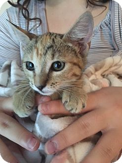 Domestic Shorthair Kitten for adoption in Port Richey, Florida - Cheetah