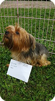 Yorkie, Yorkshire Terrier Dog for adoption in Crump, Tennessee - Wasabi