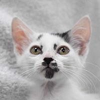 Domestic Shorthair Kitten for adoption in Woodstock, Georgia - Fudge Ripple