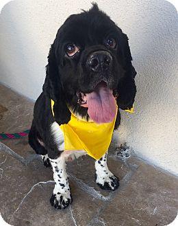 Cocker Spaniel Dog for adoption in Canoga Park, California - Monty