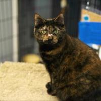Adopt A Pet :: Dominique - Carroll, IA